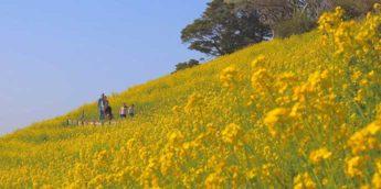 【千葉】「マザー牧場」へ行こう!菜の花畑やいちご狩りも楽しめる