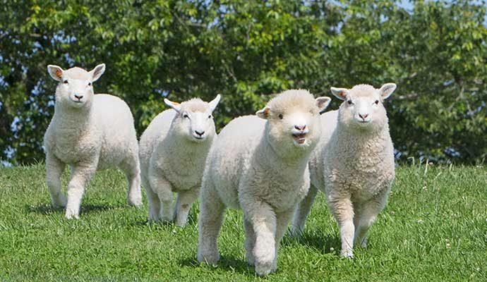 マザー牧場 赤ちゃん羊